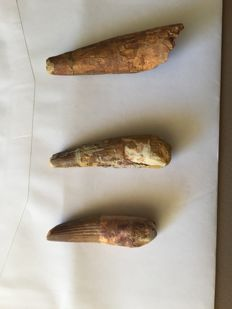 Lot of 3 superb Spinosaurus teeth aegypticus - 9 cm