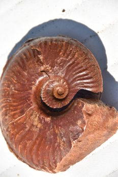 Fossil Ammonite, with 2 prepared faces - Pseudammatoceras boyeri - 11.5cm - 525g