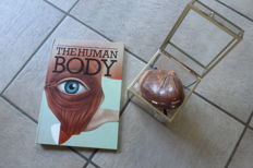 Book and learning materials regarding the human body in 3D - + a model of the heart which comes apart
