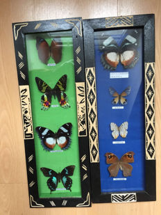 Interesting pair of vintage Butterfly display cases - ethnic-style illustration - 42.5 x 15cm  (2)