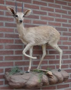 Taxidermy - fine Steenbok , full mount, wall-hung - Raphicerus campestris - 35 x 75 x 85cm