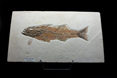 Long fossil fish - Mioplosus labracoides - 29.2 cm