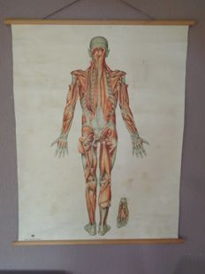 "Old anatomical school board/school poster of a human with the ""muscular system (deep layers, backside)"""