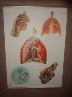 "Two beautiful intact anatomical school posters ""The respiratory organs"" and ""embryology of the man"""