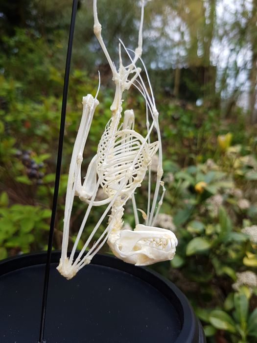 Greater Short-nosed Fruit Bat - complete skeleton in glass dome - 23cm