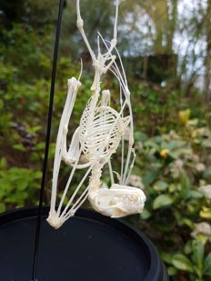 Greater Short-nosed Fruit Bat - complete skeleton in glass dome - Cynopterus sphinx - 23cm