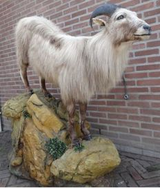Top quality taxidermy - Himalayan Tahr Goat on natural-looking rock outcrop - Hemitragus jemlahicus - 140 x 140 x 60cm