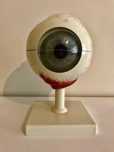 Very old anatomical model of the eye, both from the inside and outside!