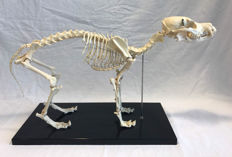 Vintage Educational Study replica skeleton - Jack Russell Terrier - Canis familiaris - 55 x 20 x 33cm - 2200 gm