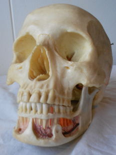 Anatomical dental model, skull with loose jaw