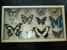Nice collection of vintage Butterflies - hand-made case - 38 x 22cm