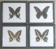 Set of Exotic Butterfly display frames - 20 x 17cm  (4)