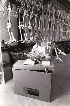 Globe Photos - Production of human skeleton models - 1960's