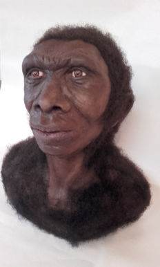 "Unique muscle-by-muscle reconstruction - Homo ergaster (""working man"") - Early Pleistocene hominid - 35 x 30 x 20cm"