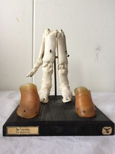 School anatomy model of pig's trotter in good condition.