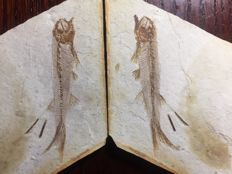 Fish fossil - Lycoptera sp. Positive and negative sides of the same fish - 10 x 6.4 x 0.9 cm