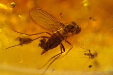 Baltic Amber 2 x large flies (Diptera) (Tabanidae) and oak seeds - 33.6 x 25 mm