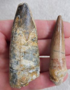 Spinosaurus Teeth - 7.0 cm and 6.4 cm