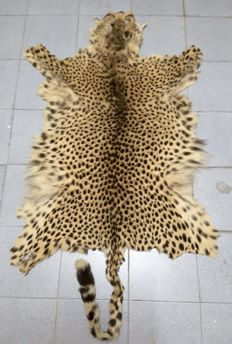 Vintage taxidermy - Angolan Cheetah skin, with head - Acinonyx jubatus - 204 x 83 cm - 875 g - Article 10 Number PT/C-1576/2007