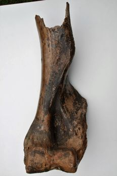 Woolly Mammoth (Mammuthus primigenius) - Humerus - length 80 cm