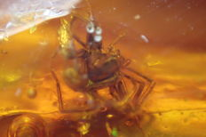 Baltic Amber with a spider and other inclusions (Araneae) 3 x 1.9 cm