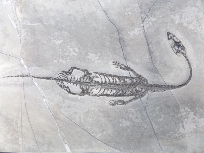 Swimming reptile - Keichousaurus hui - 14.7 cm (18.4 cm in stretched position)