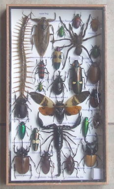 A very diverse Exotic Insect collection, with triple Poison Set - 35 x 20cm
