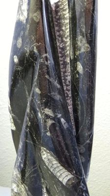 Large and polished orthoceras sculpture - 30 cm - 1.960 kg