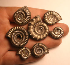 Group of 7 mixed species - Iron Pyrite Ammonite fossils - 17–29 mm