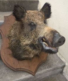 Fine vintage taxidermy - large French Wild Boar head, on carved shield - Sus scrofa - 60 x 90cm