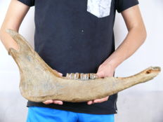 Aurochs lower jaw - Bos primigenius - Ur - 52cm x 24cm