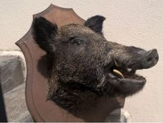 Vintage French Wild Boar head, with half-turn to left, on carved shield - Sus scrofa - 50 x 70cm