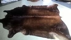 Extra large dark brown Cow hide - Bos taurus - 205 x 245cm