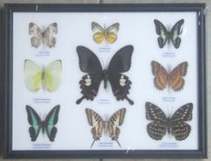 Various Exotic Butterflies in a wooden frame - 32 x 25cm