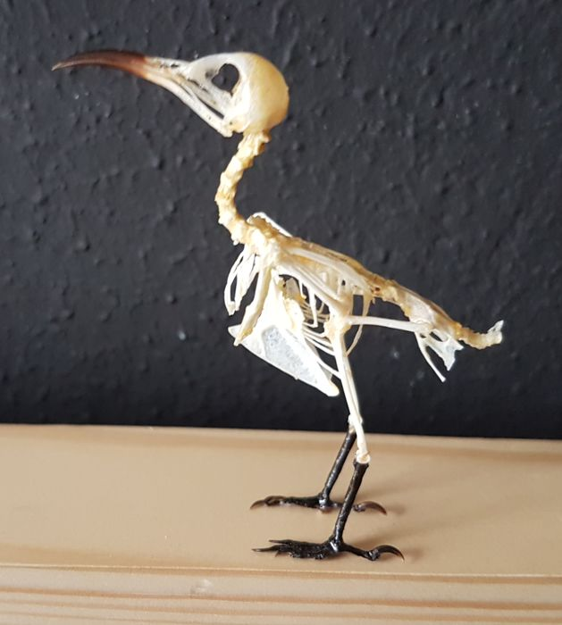 Fine, articulated Sun Bird skeleton - Nectariniidae sp. - 7cm