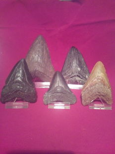 Lot of 5 nice and rare megalodons - 7 x 14.5 cm - 5.3/4 ""