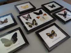 Collection of Exotic Butterfly the premium frames-14.5 x 12 cm and 22 x 17 cm (7)