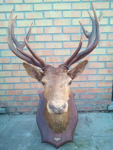 Fine vintage taxidermy - Red Deer Stag trophy, gold medal winner, mounted by Deyrolle, Paris - 120 x 80cm - 15kg