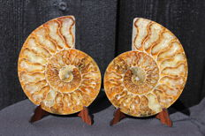 Ammonite Cleoniceras sp. - 120 x 99 mm - 363 g
