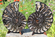 Large black ammonite Cleoniceras sp. - 202 x 165 mm - 1519 g