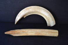 Antique Hippopotamus teeth - Hippopotamus amphibius - 37 and 45cm - 1476 and 973gm  (2)