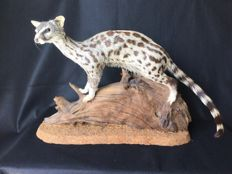 Fine taxidermy - Small-spotted, or Common Genet on natural base - Genetta genetta - 94 cm