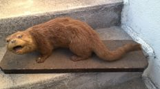 Top quality antique French taxidermy - Eurasian Otter, signed on base - Lutra lutra - 69 x 30 x 25cm