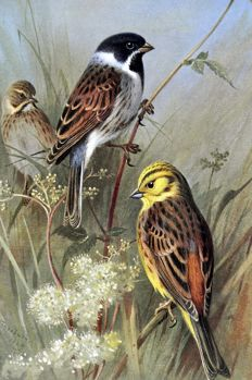 11 ornithological prints by Archibald Thorburn (1860-1935) British Birds - 1926