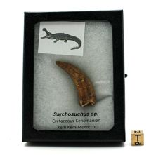 Crocodilian tooth - Sarchosuchus sp. - 4.9 x 1.7 cm