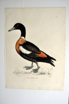 10 ornithological prints by Prideaux John Selby (1788-1867) - 'IIlustrations of Ornithology' (from 1826 to 1843) part II