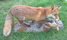 Fine taxidermy - Red Fox with Partridge prey - Vulpes vulpes - 90 x 48cm