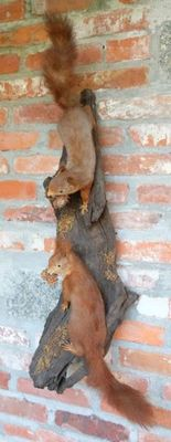Fine vintage taxidermy - pair of Red Squirrels on wall-mount - Sciurus vulgaris - 31 and 35cm