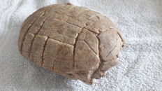 Fossil turtle Stylemys nebrascensis - 20 x 16 x 8 cm - 2051 g