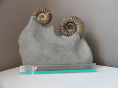 Fossil ammonites on matrix - Asteroceras obtusum - 34 x 30,5 x 10 cm